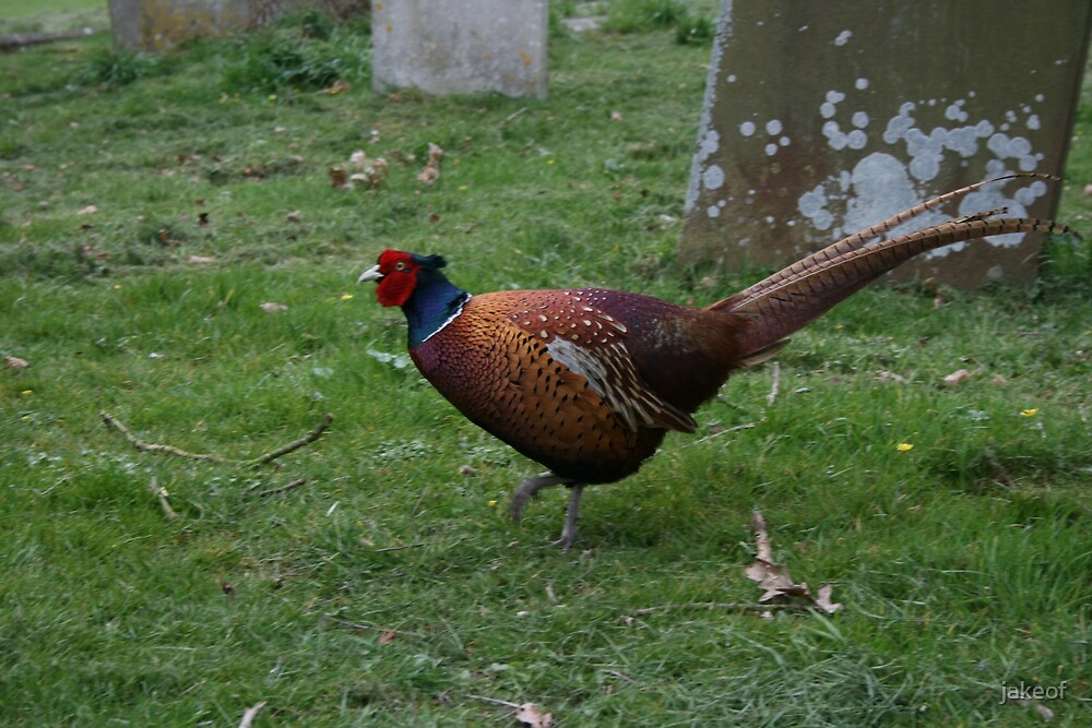 Pheasant At Upham(The Time Of The Ear) by jakeof