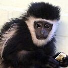 Young Colobus by Sheila Smith