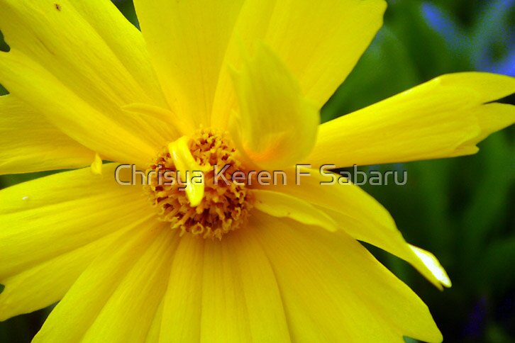 yellow daisy by Chrisya Keren F Sabaru