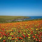 Poppy fields  at Polly Joke cove Cornwall by eddiej