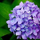 Hydrangea in Summer by BProven40