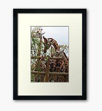 Group Of Giraffes Eating Framed Print