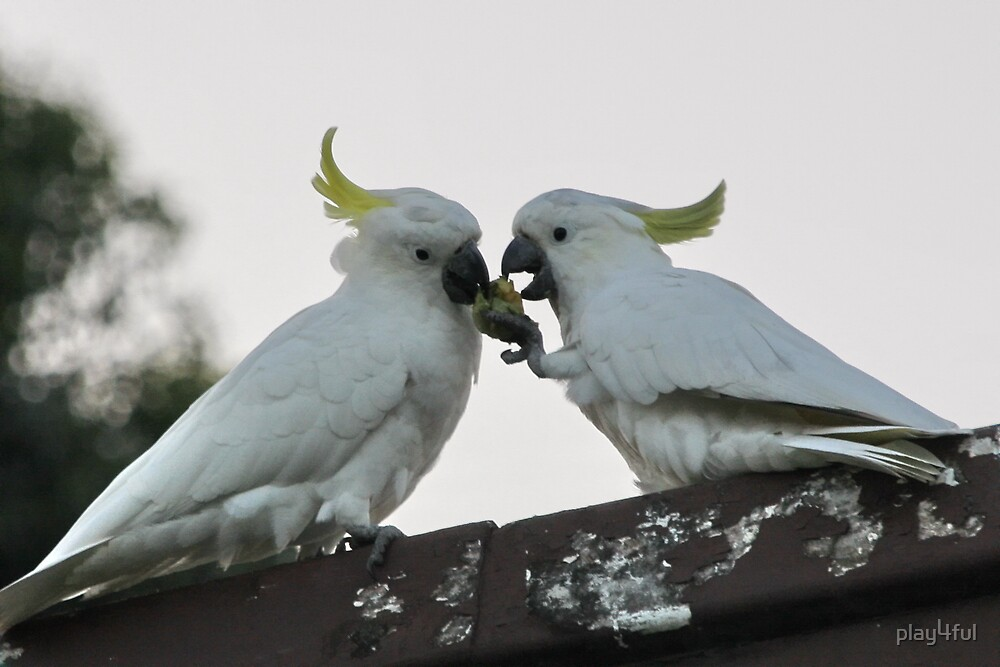 Cockatoos Sharing A Feed... by play4ful