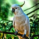 Sulphur Crested Cockatoo  by Tom Newman