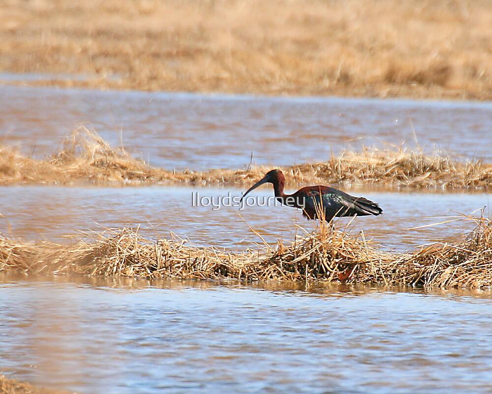 glossy ibis by lloydsjourney