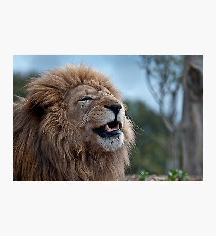 Lion At Werribee II Photographic Print