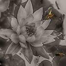 Waterlily Bee Merge by Judi FitzPatrick