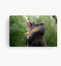 Mandrill at Melbourne Zoo III Canvas Print