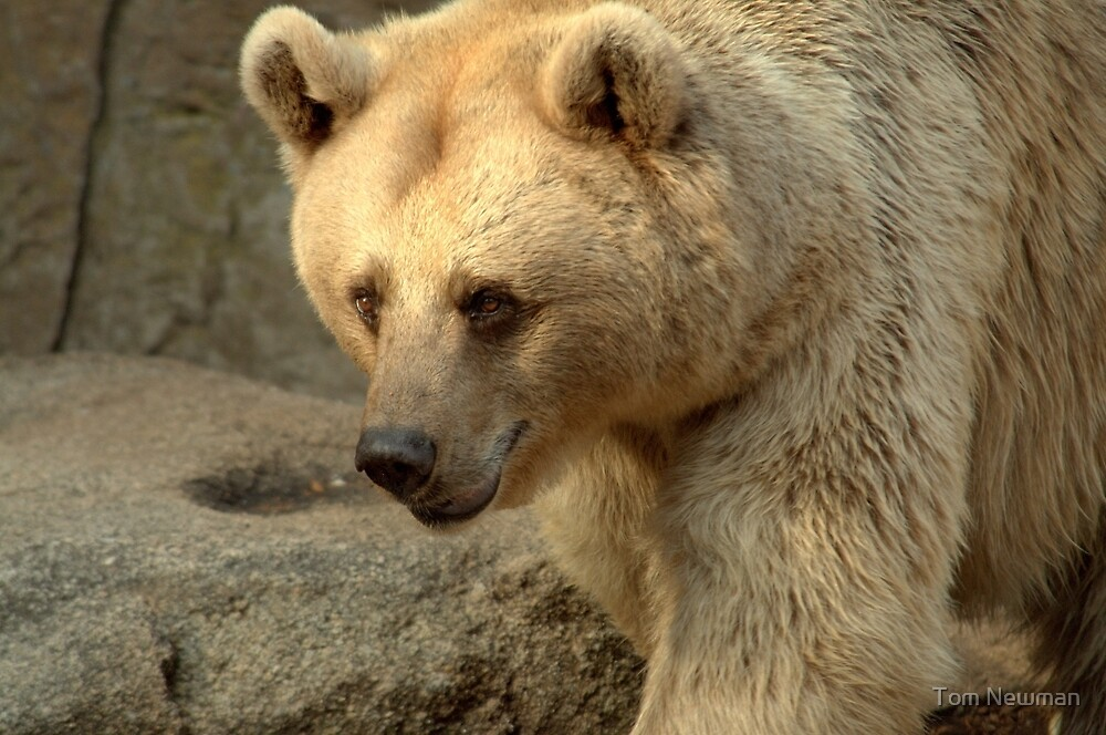 Syrian Brown Bear  V by Tom Newman