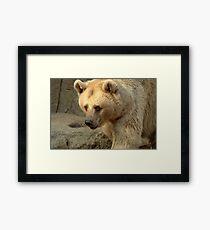 Syrian Brown Bear  V Framed Print