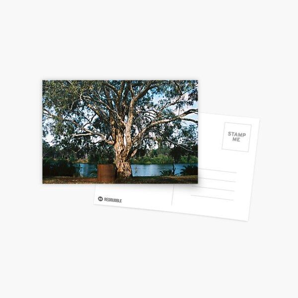 Murray River Gum Postcard