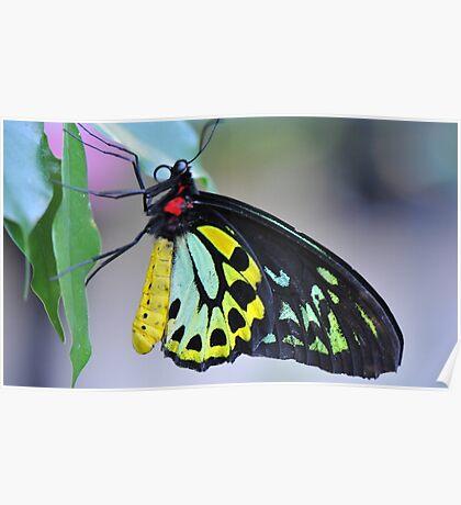 Butterfly Cairns Birdwing III Poster
