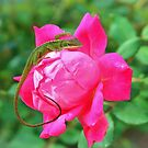 Baby Anole On Pink Rose by Cynthia48