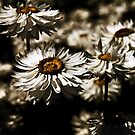 Paper Daises by Evita