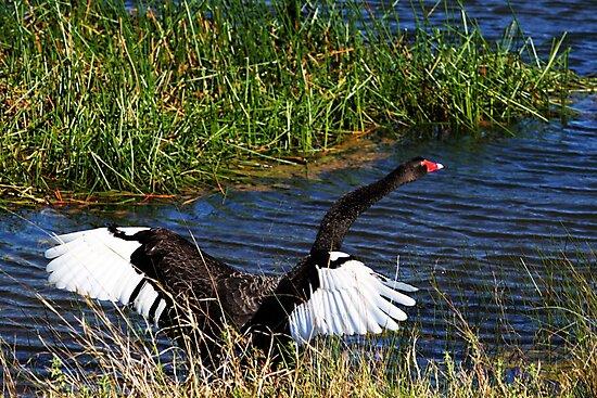 Black Swan by Evita