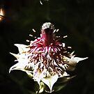 Australian Beauty by Evita