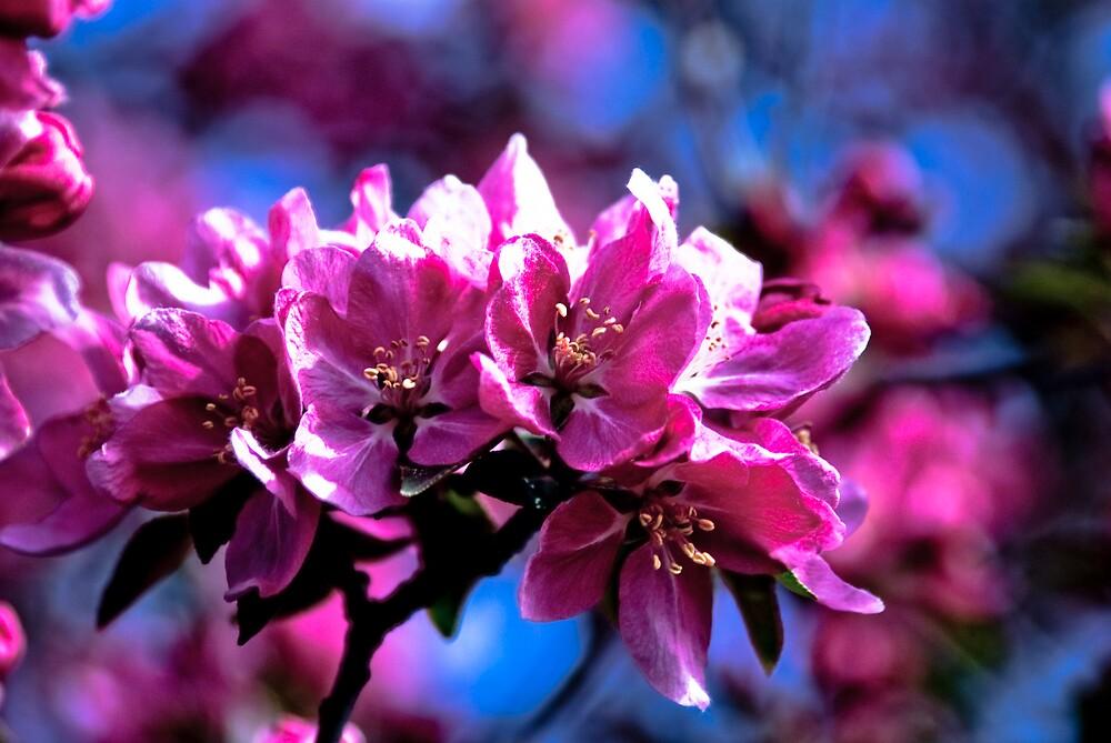 Crab Apple Blossom 2 by Rod  Adams