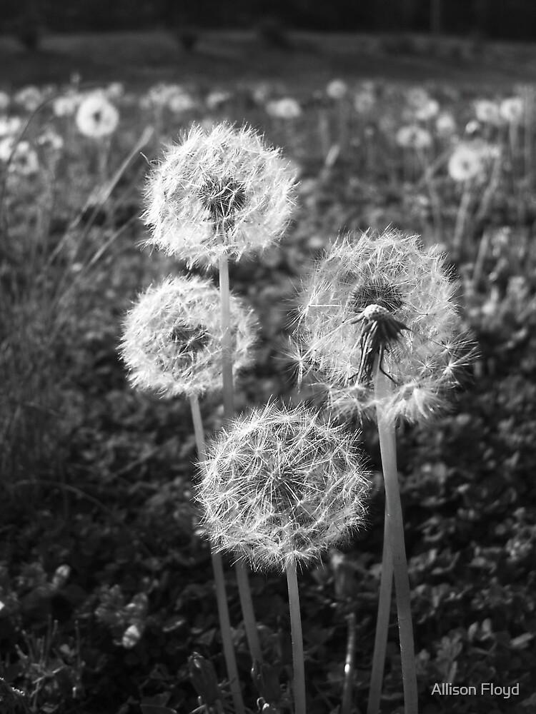 Dandelion II by Allison Floyd