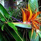 Bird of Paradise  by Roger Sampson