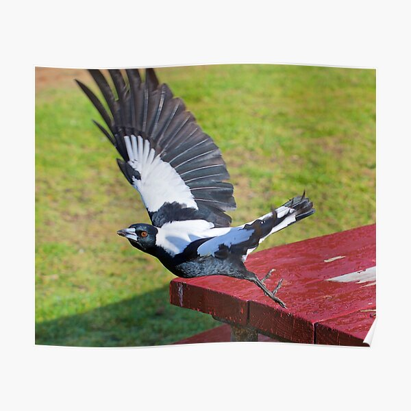 MAGPIE ~ Australian Magpie by David Irwin ~ WO Poster