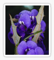 Holly-leaved Hovea Sticker