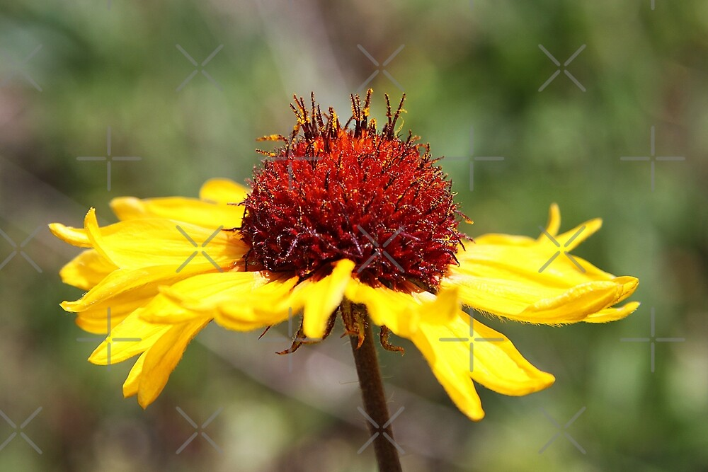Great Blanket Flower by Alyce Taylor