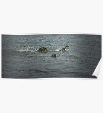 Escape 1. Male mallard ducks fighting Poster