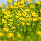 Buttercups in motion by Dave Hare
