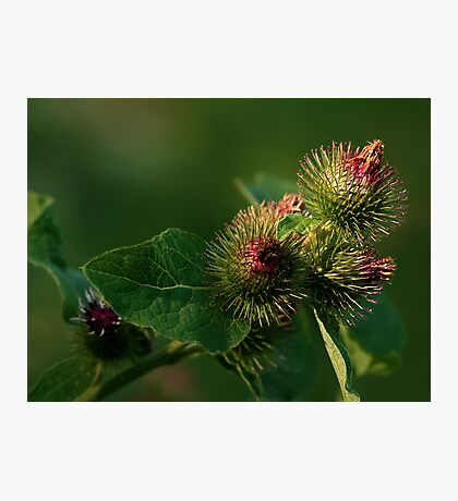 Blooming Burrs (Burdock) Photographic Print