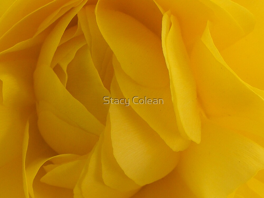 Yellow Rose by Stacy Colean