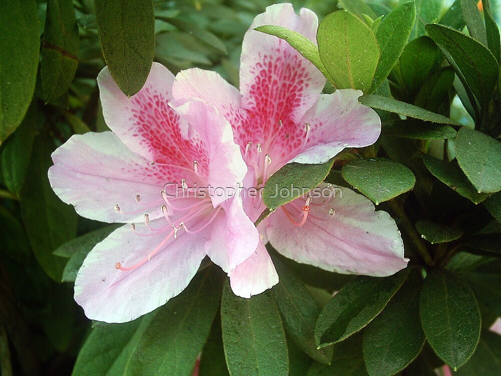 Pink Rhododendron Flowers 1 by Christopher Johnson