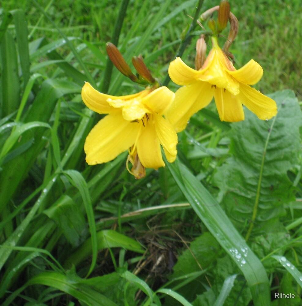 Lilies in bloom by Riihele