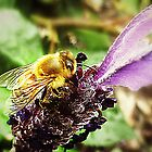 Lavender with Bee - Garden 2011  by EdsMum