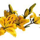 Lily flower by flashcompact