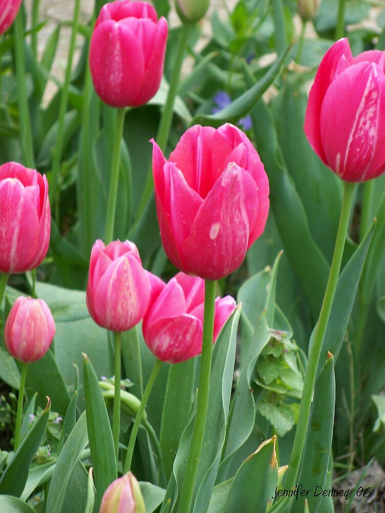 Pink Tulips by photog4