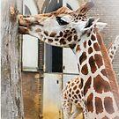 Giraffe by flashcompact