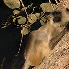 Langur Monkey Relaxes by Steve Bulford
