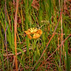 Yellow and orange iris in green reeds by LeifS1