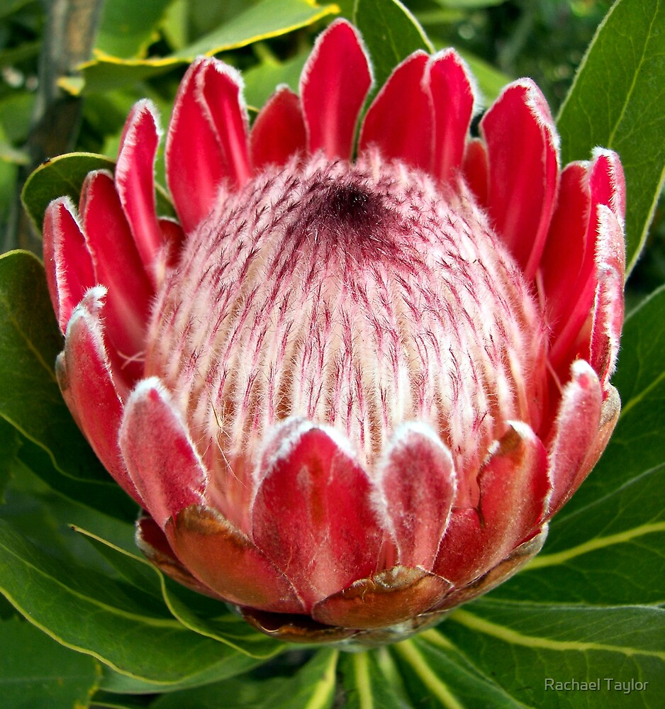 Protea 2 by Rachael Taylor