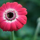 Fireburst Pink by Amy Dokken