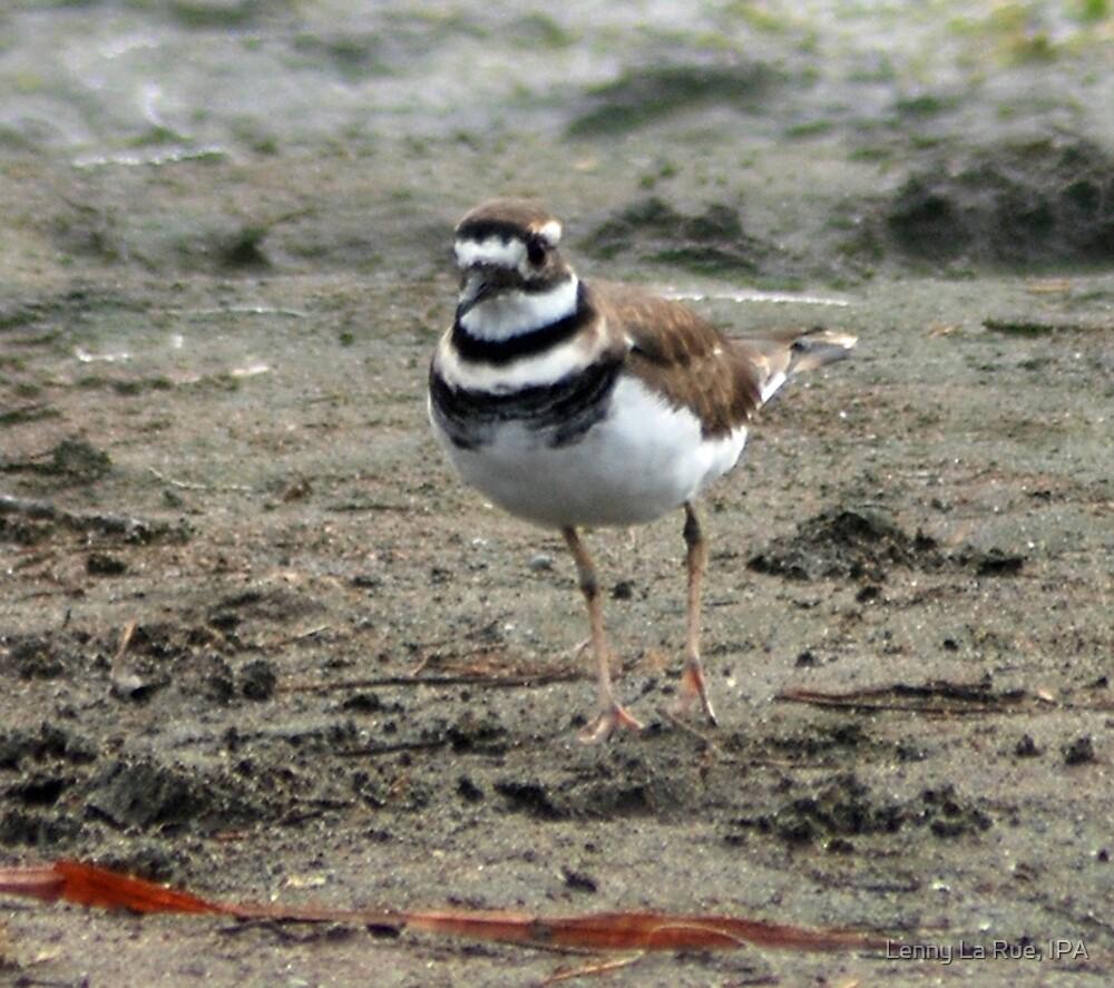 Fort Bragg killdeer by Lenny La Rue, IPA