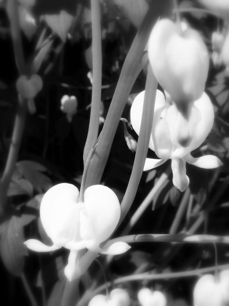 white bleeding heart macro, black and white by Dawna Morton