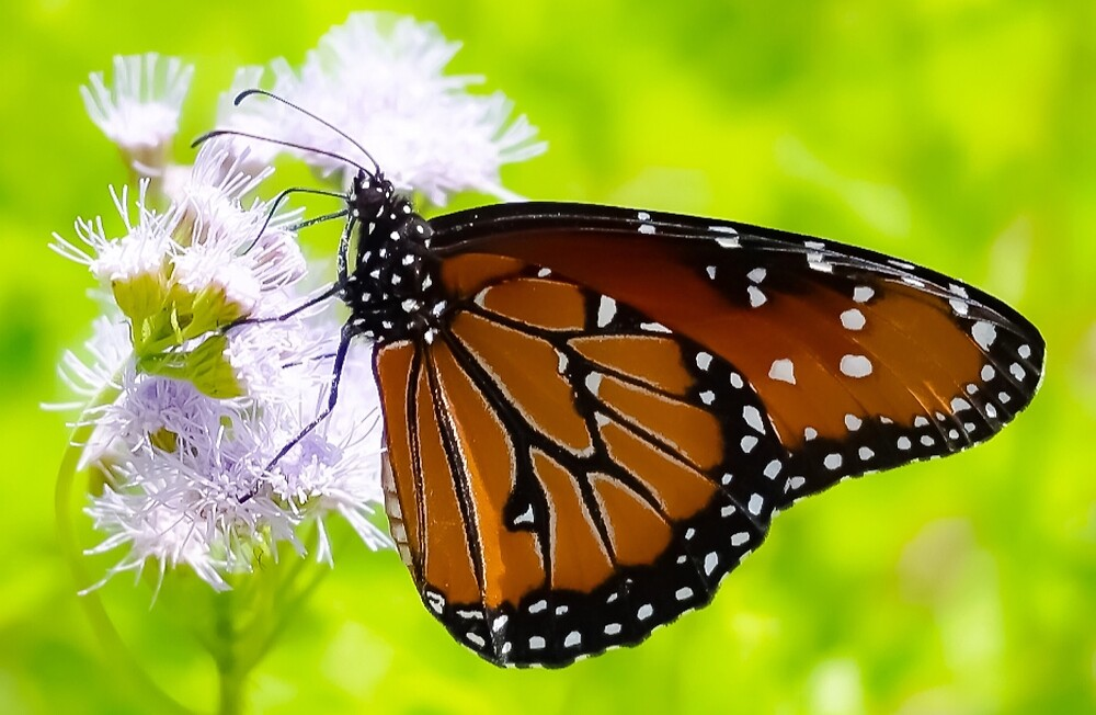 Transformation: A Monarch Butterfly by Jacqueline Cooper