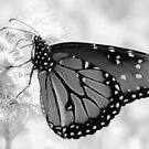 Transformation: A Monarch Butterfly in Black and White by Jacqueline Cooper