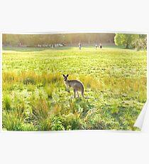 Wild grey kangaroo at sunset Poster