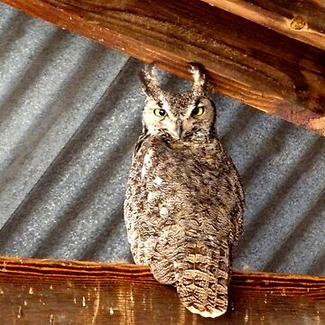 Grey, Horned Owl - Whitewater Draw, Arizona by kimberlymiller