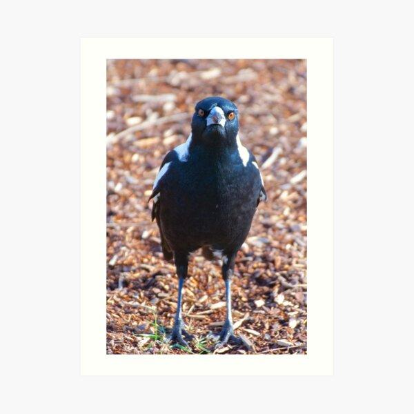 MAGPIE ~ Australian Magpie by David Irwin ~ WO Art Print