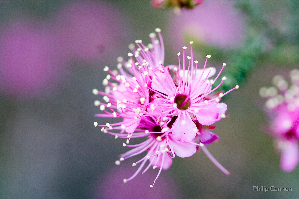 Pink Mellaleuca by Philip Cannon