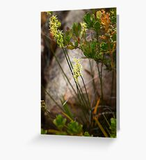 Winged Stackhousia Greeting Card