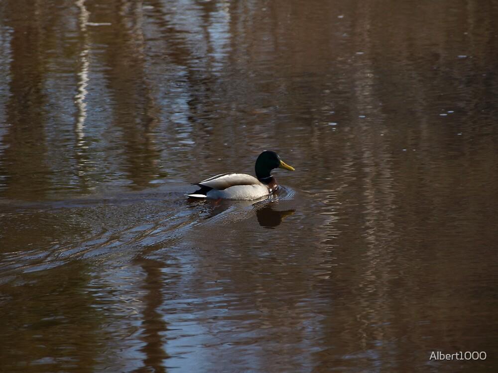 NC A duck by Albert1000
